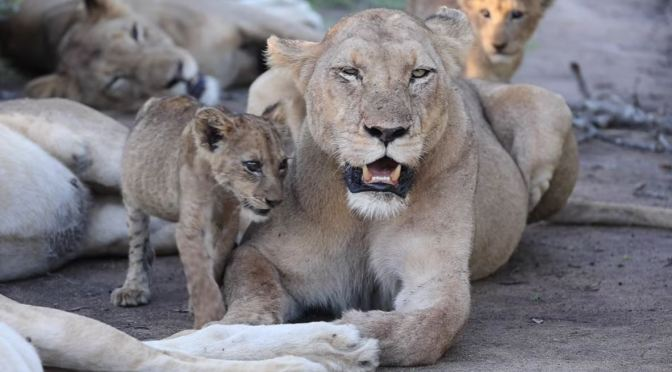 Safari Views: 'Lions Of The  MalaMala Game Reserve' In South Africa (Video)