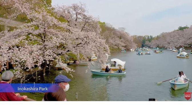 Spring Walks: Cherry Blossoms – Tokyo Parks