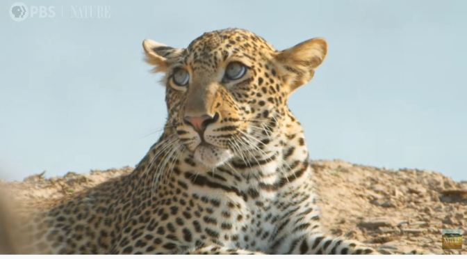 Wildlife Views: A Young Leopard Learns To Hunt