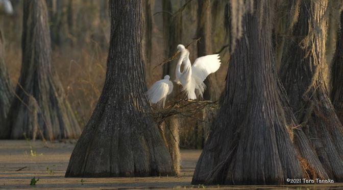 Views: 'Great White Egrets' Tallahassee, Florida (4K)