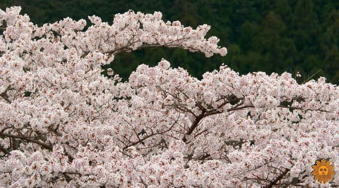 Views: 'Cherry Blossom Mountain Park' – Japan