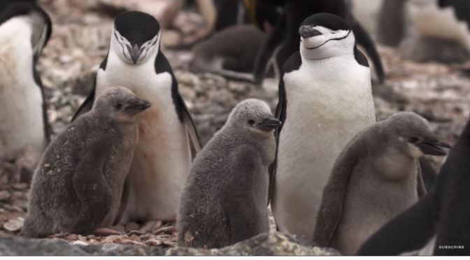 Antarctic View: Counting 'Chinstrap Penguins' On Elephant Island (Video)