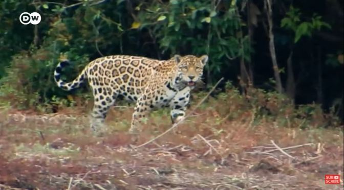 Wildlife View: Protecting Columbia's Jaguars (Video)