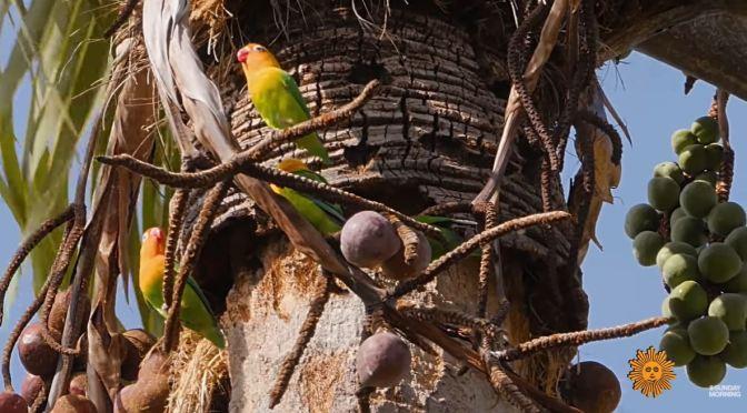 Views: 'Fischer's Lovebirds' At Lake Eyasi, Northern Tanzania In Africa (Video)