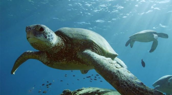 Ocean Wildlife: Green Sea Turtles Of Hawaii (Video)