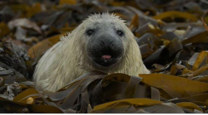 Views: 'Grey Seal' Pupping Season In Scotland (Video)