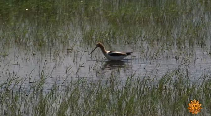 Wildlife: Water Birds In Northeastern MOntana