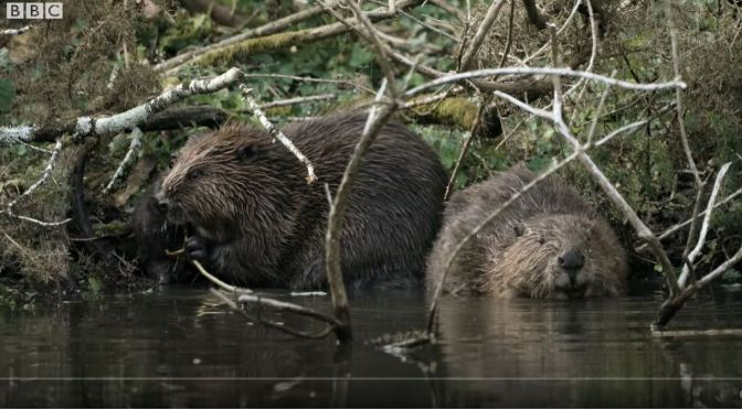 Nature Views: Beavers Return To The Wild In U.K. After 400 Years (Video)
