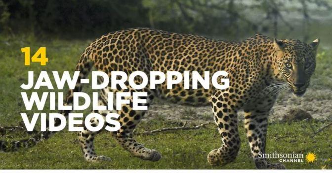 Wildlife: 14 Stunning Videos (Smithsonian)