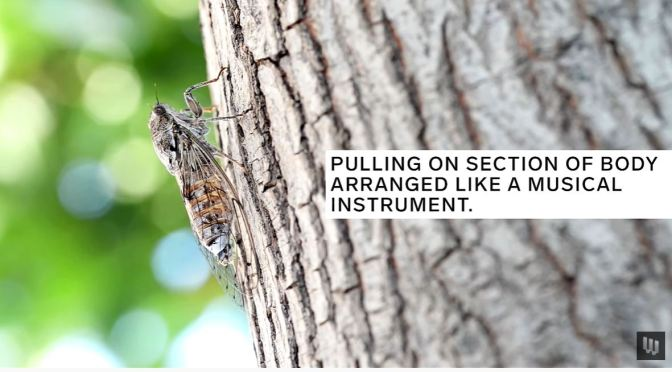 Insects: How Cicadas Create So Much Noise