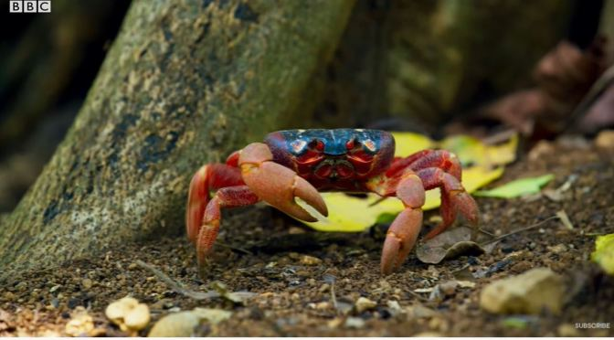 Views: Red Crabs Battle Yellow Crazy Ants On Christmas Island (BBC)