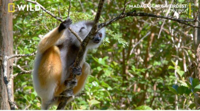 Wildlife: 'Leaping' Lemurs In Madagascar (HD Video)