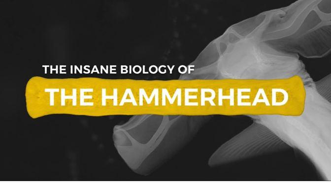 Wildlife: Hammerhead Sharks – 'Insane Biology'