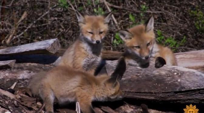 Nature Views: Red Fox Kits In Durham, Maine (Video)
