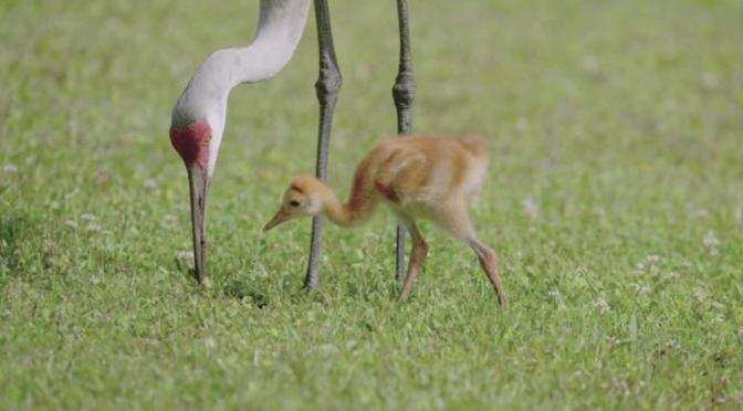Nature Views: Sandhill Cranes & Chicks Near Titusville, Florida (Video)