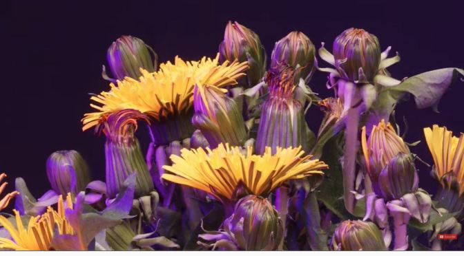 Photography: Dandelions In Timelapse (HD Video)