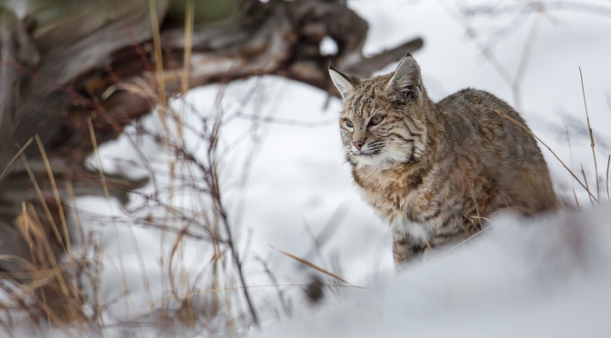 Wildlife Views: A Bobcat Hunting In Yellowstone National Park, Wyoming