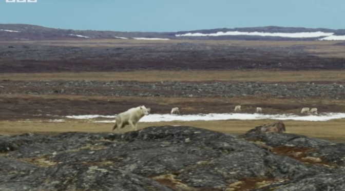 Wildlife Views: An Arctic Wolf Hunts Caribou On The Canadian Tundra
