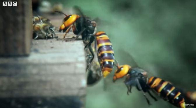 Wildlife: Top 'Hornet Moments' (BBC Earth)