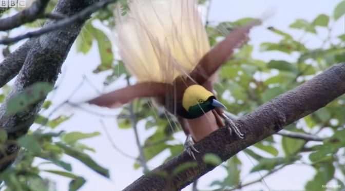 Views: Dancing Birds In The Wild (BBC Earth Video)