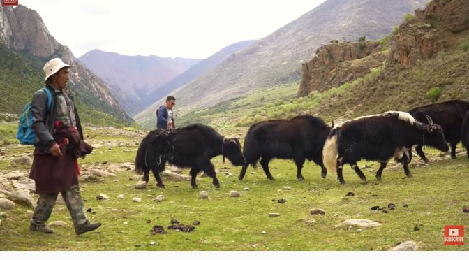Tibet: A Day In The Life Of A Himalayan Yak Man (Video)