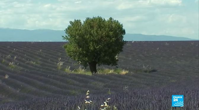 French Views: Lavender Fields Of Provence (Video)