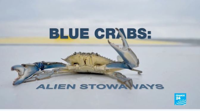Marine Ecosystems: 'Blue Crabs' – Super Predators Of The Mediterranean