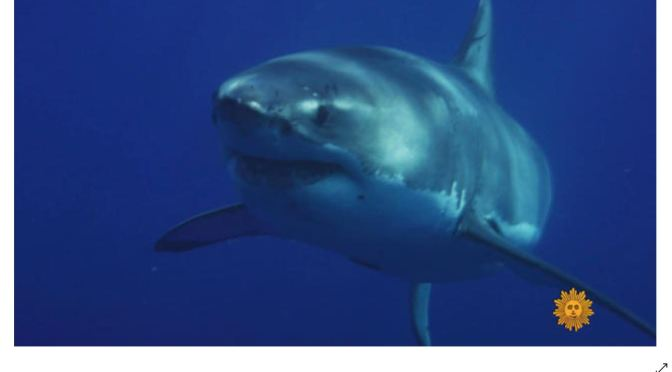 Views: Great White Sharks Guadalupe Island, Mexico