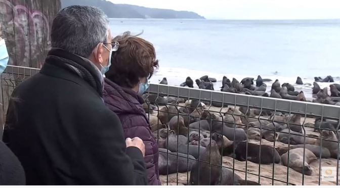 Views: Sea Lions Invade Town Of Tome, Chile