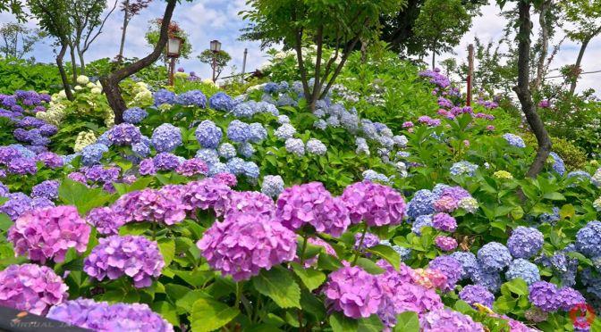 Walks: Hydrangeas At Hakusan Shrine, Tokyo