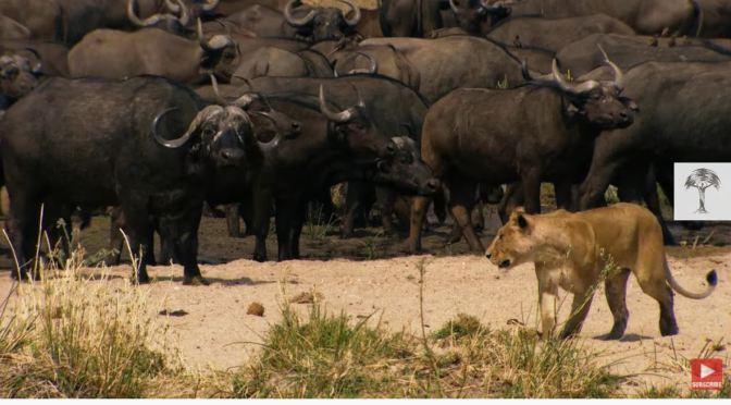 African Views: Lions Hunt Buffalo In Tanzania