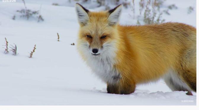 Wildlife Views: A Red Fox 'Snow Dives' To Hunt Prey