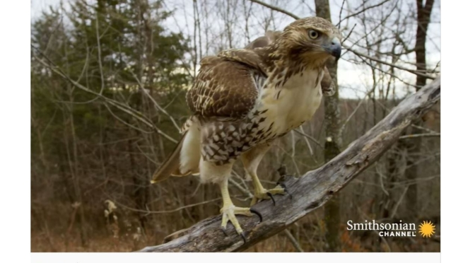 Views: Red-Tailed Hawk On The U.S.- Canada Border