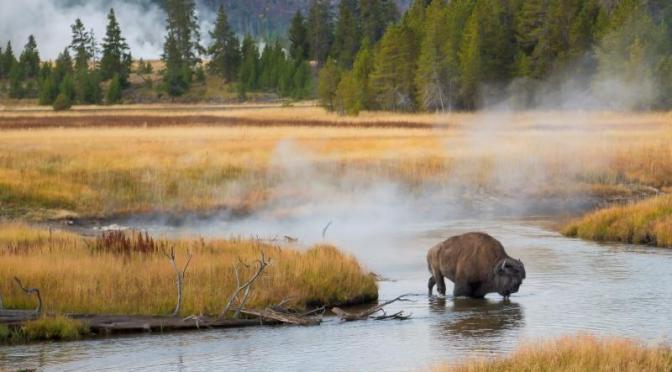Wildlife: Yellowstone Bison and Marsh Birds