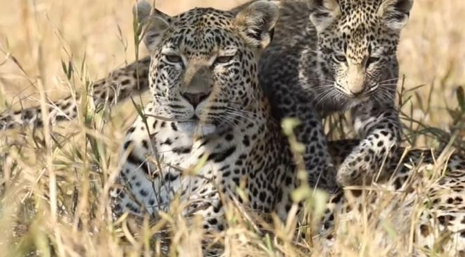 Safari Views: Leopards At Mala Mala, South Africa