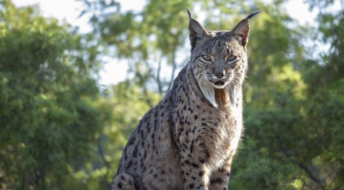 Views: The Iberian Lynx Returns From Verge Of Extinction In Spain (BBC)