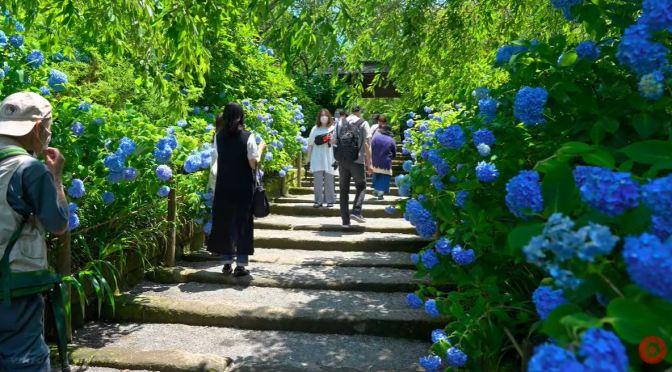 Garden Walks: Kamakura Hydrangea Temple, Japan