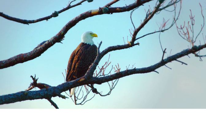 Views: Bald Eaglets In Western New York State