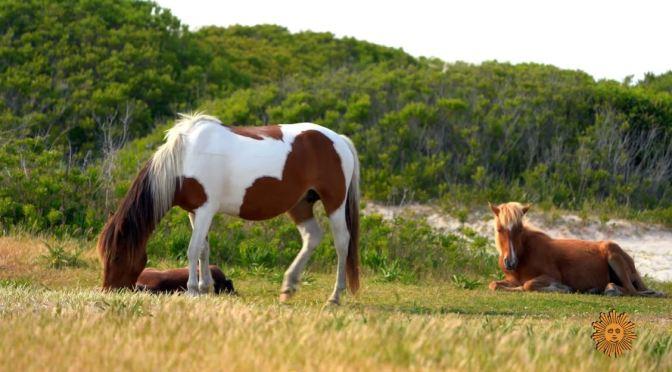 Views: The Wild Horses Of Assateague Island Off Maryland & Virginia Coast