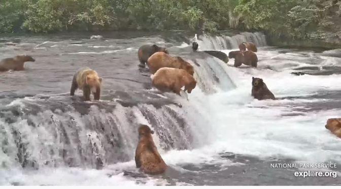 Alaska Views: Brown Bears Hunting At Brooks Falls, Katmai National Park