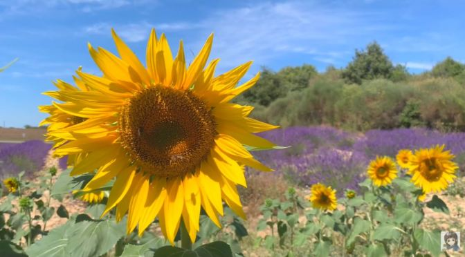 Views: Lavender And Sunflowers In Valensole, Provence, France (4K)