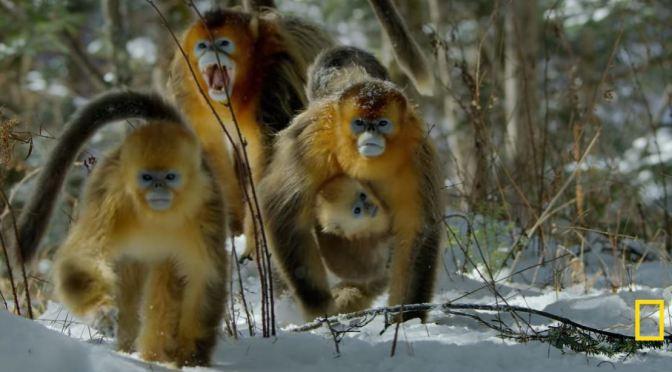 Wildlife: Golden Snub-Nosed Monkeys Of China
