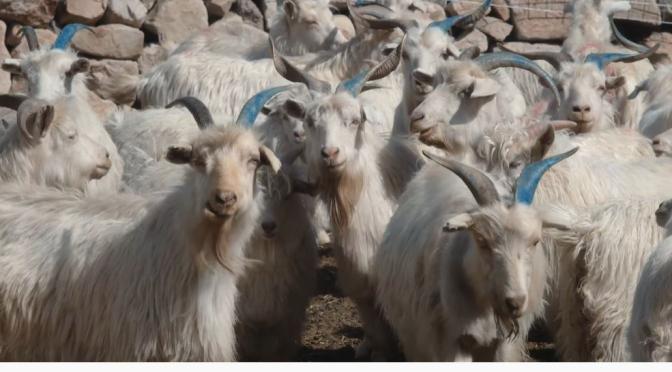 Views: Goat Herding With Drones & Smartphones In Inner Mongolia (Video)