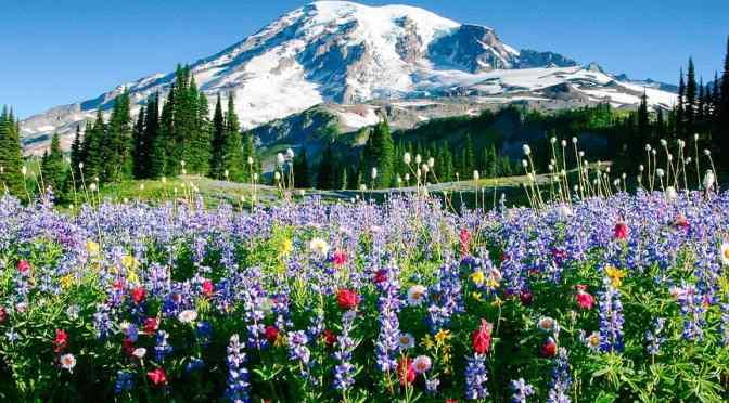 Views: Wildflowers In Mount Rainier National Park, Washington State