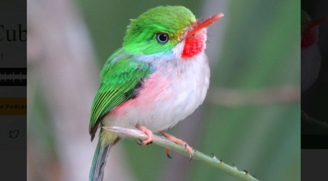 Bird Views: The Cuban Tody In The West Indies