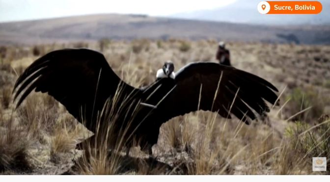 Views: Two Andean Condors Released Back Into The Wild In Bolivia