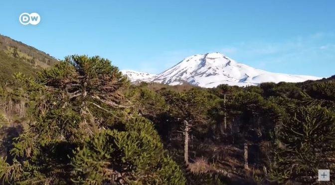 Conservation: Protecting Chile's Araucaria Forests