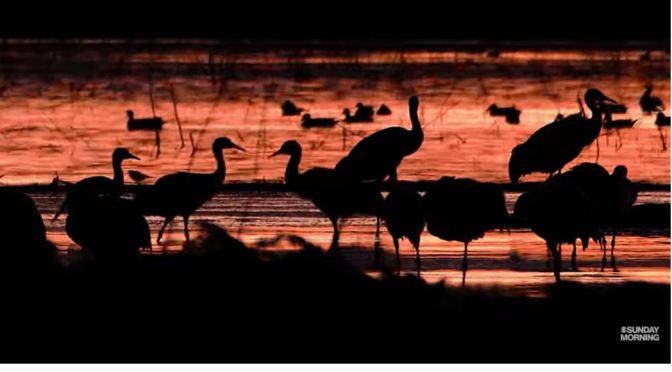 Nature Views: Sandhill Cranes In Lodi, California