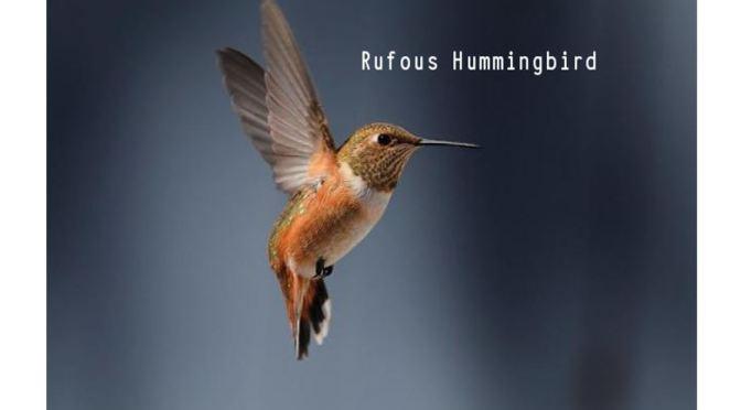 RUFOUS HUMMINGBIRDS: 'Tiny Bird, Epic Journey'