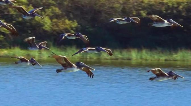California Views: Brown Pelicans At Rodeo Lagoon